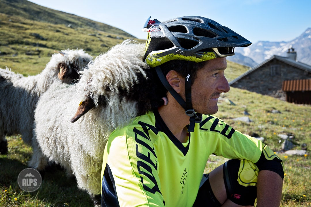 A male mountain biker gets a surprise lick on the neck from a sheep during the Swiss CrissCross project. Road ride through the Alps across Switzerland, then mountain bike back through the Alps on trails. 2012