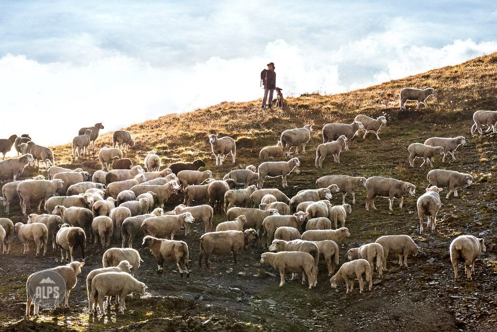 A shepherd with sheep