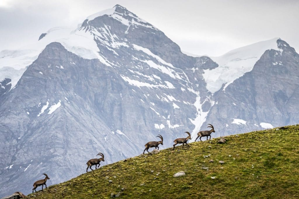 Ibex walk in profile up a moraine with the Jungfrau in the background, Switzerland