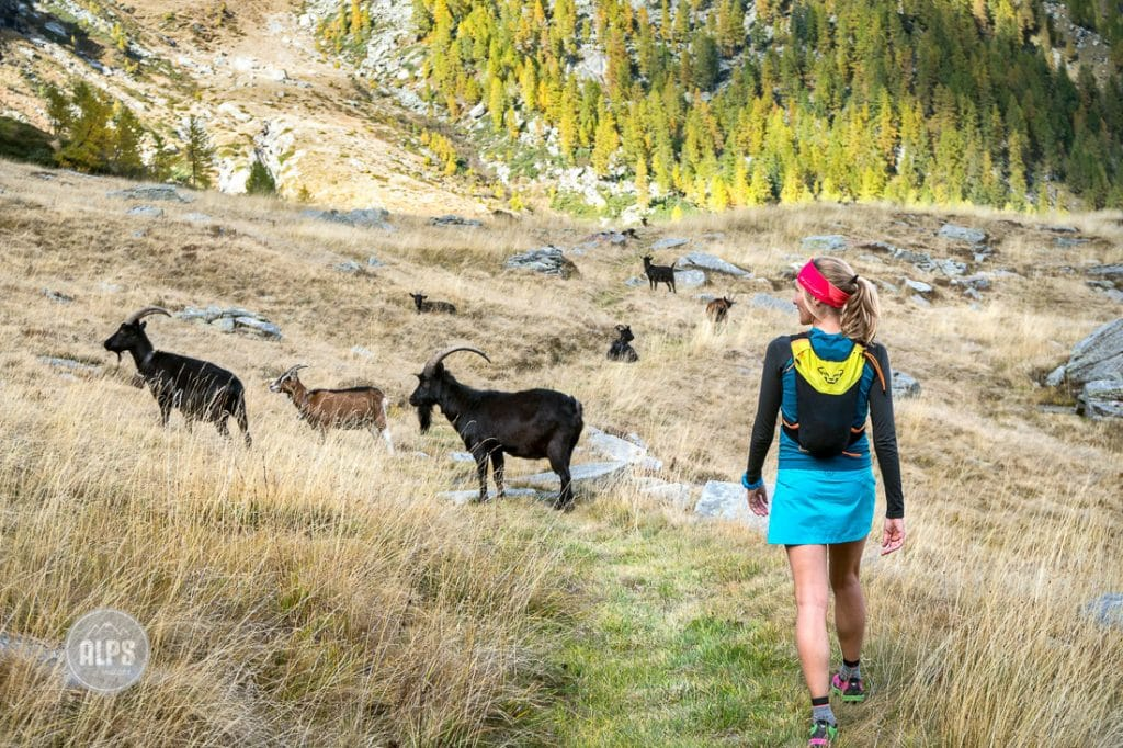 A woman trail running above Val Verzasca on the trail to Monte Zucchero, a 2735 meter summit in the Ticino region of Switzerland, comes across a herd of goats.
